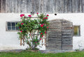 Old barn doors and red rose bush Royalty Free Stock Photo