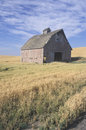 An old barn in a wheat field Stock Image
