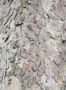 Old beech bark with layered ringed texture of an old tree Royalty Free Stock Photo