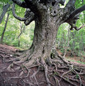Old beech tree Royalty Free Stock Photography