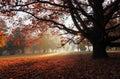 Starý buk v podzimním parku