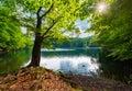 Old beech tree on the shore of Morske Oko lake
