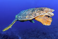 Old big green turtle Royalty Free Stock Photo