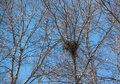 Old birds nest in a dry tree without leaves Royalty Free Stock Photo