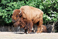 An old bison in the prague zoo Royalty Free Stock Photography