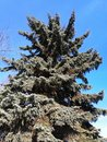 blue spruce against blue sky