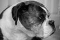 Old boxer dog a black and white image of an Royalty Free Stock Photos