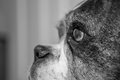 Old boxer dog a black and white image of an Royalty Free Stock Photography