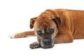 Old Boxer Dog Looking Sad Royalty Free Stock Photo