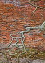 Old brick wall and tree roots Royalty Free Stock Photo
