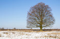 Old brown beech in the winter Royalty Free Stock Photo