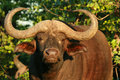 Old Buffalo Bull Royalty Free Stock Images