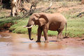 Old Bull Elephant at River Royalty Free Stock Photo
