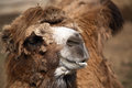 Old camel portrait on brown background extreme closeup Stock Photography