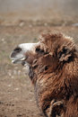 Old camel sadness portrait on brown sand background Royalty Free Stock Images