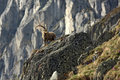 Old Capra Ibex Royalty Free Stock Image