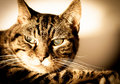 Old Cat With Cataracts Royalty Free Stock Photo