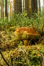 Old cep mushroom with large brown cap grows from moss and dry needles Royalty Free Stock Photo
