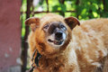 old chain red dog with a malignant inoperable tumor on the face in the area of the nasal cavity.