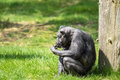 Old chimp eating fruit Royalty Free Stock Photo