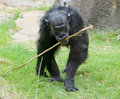Old chimp with prodding stick to get ants out of termite mounds Stock Image