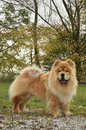 Old Chowchow Dog
