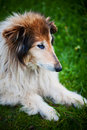 Old collie dog portrait Royalty Free Stock Photo