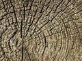 Vecchio di albero