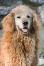 Old curly golden retriever with face turning white Stock Photography