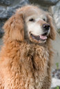 Old curly golden retriever with face turning white Royalty Free Stock Photos