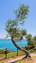Old curve olive tree Stock Images