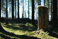 Old cut down tree trunk in fir forest Royalty Free Stock Photo