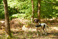 Old danish pointer dog in the forest Royalty Free Stock Photo
