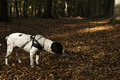 Old danish pointer dog in at leash in forest with fallen leaves in the forest floor Royalty Free Stock Photo