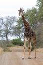 Old Dark Giraffe Slowly Crossi...