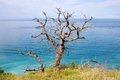 The old dead oak tree and sea Royalty Free Stock Photo