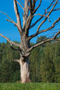 Old dead tree Stock Photography
