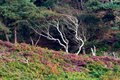 Old dead tree with heather Royalty Free Stock Photo