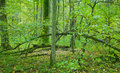 Old deciduous forest with linden tree Stock Images