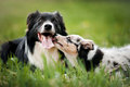 Old dog border collie and puppy playing Royalty Free Stock Photo