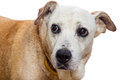 Old dog with expressive face on white background sad remorse Royalty Free Stock Images