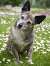 Old Dog Royalty Free Stock Photo
