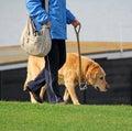 Old dog on walkies Royalty Free Stock Photo