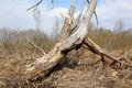 Old dry broken tree Royalty Free Stock Photo