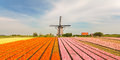 Old Dutch windmill with blooming tulips in front Royalty Free Stock Photo
