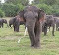 Old elephant Stock Photography