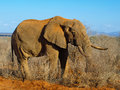 Old elephant wrinkled standing in african bush Stock Image