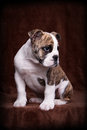 Old english bulldog pup portrait whelp of an lateral sitting Stock Photos
