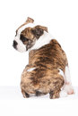 Old english bulldog pup from the rear Stock Photos