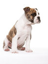 Old english bulldog pup sitting Royalty Free Stock Images